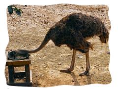 avestruz-comiendo